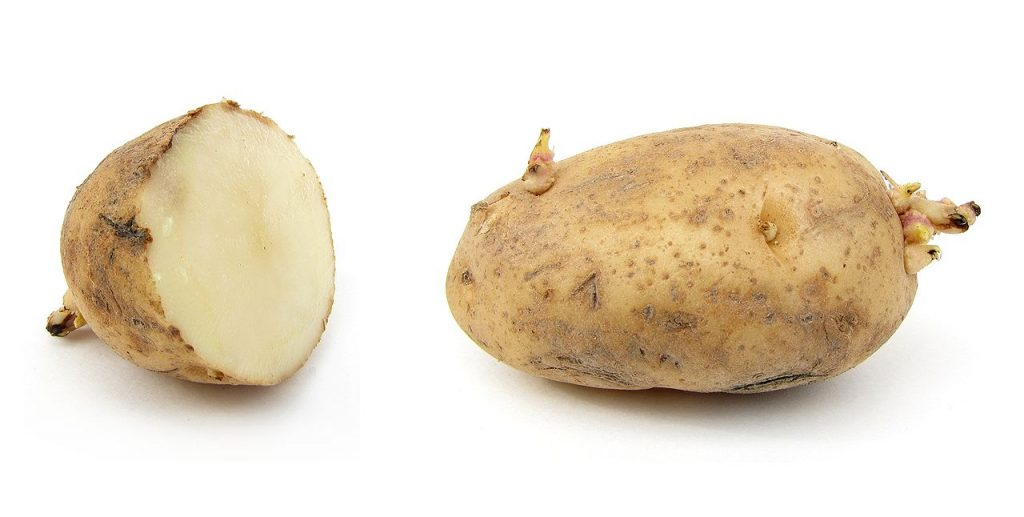 Russet Burbank potato. Credit Wikipedia