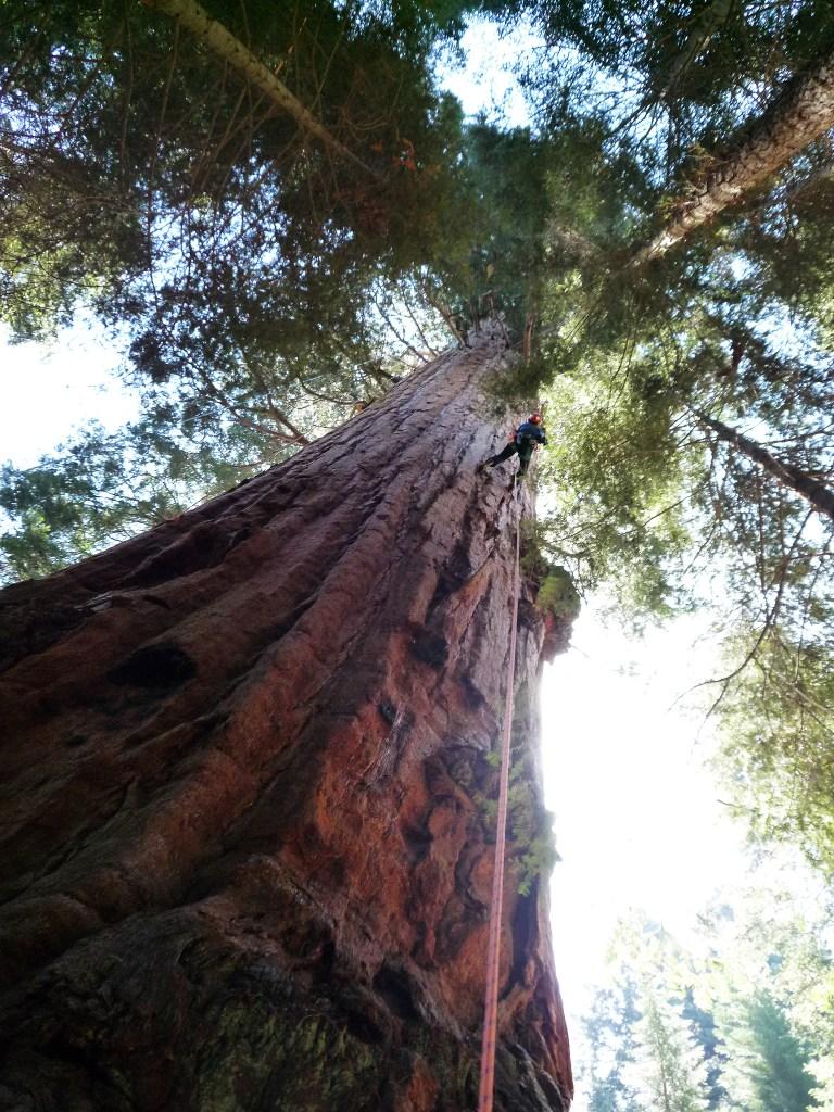 Erik Olsen climbs the Stagg tree, a giant sequoia.