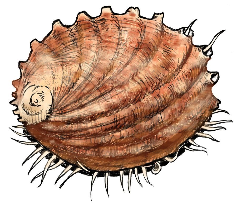 White Abalone - NOAA