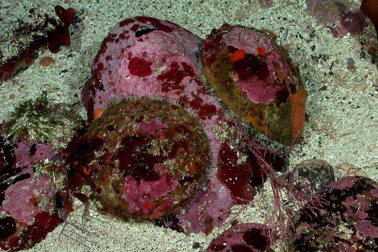 White abalone. Credit: NOAA